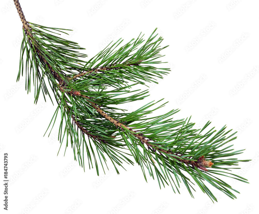 Fototapeta pine branch with cones, isolated without a shadow. Close-up. Christmas. New Year.