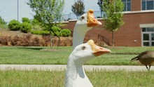 White Chinese Geese Close Up