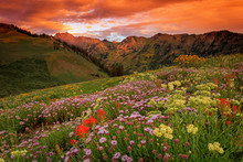 Summer Wildflowers In The Utah...