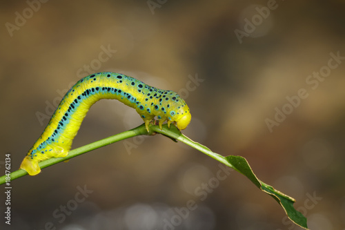 Image of Dysphania Militaris caterpillar on nature background. Insect Animal.