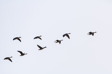 A Flock Of Wild Geese Flying O...
