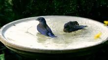 Two Bluebird Bathing Slow Motion 600fps