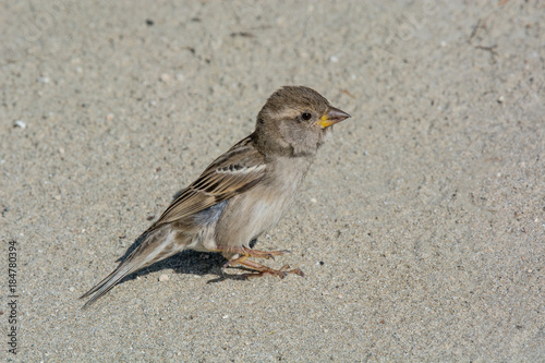 Fotomural House Sparrow Passer domesticus in natural background