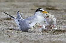 The Least Tern (Sternula Antil...