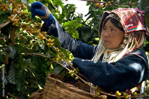 Akha Woman Picking Ripe Coffee Fototapete