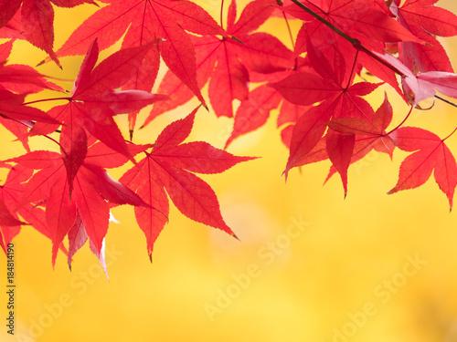Poster Melon 紅葉したカエデの葉