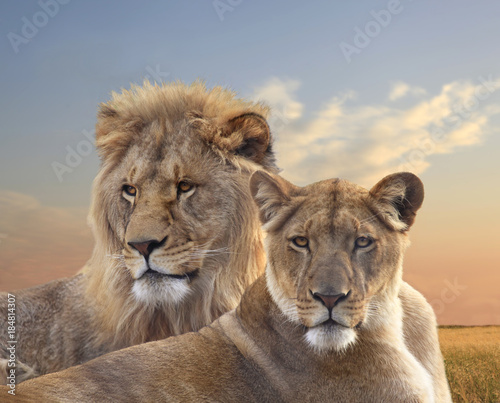 Pair of African Lions Resting at Sunset Canvas Print