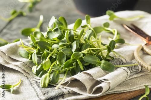 Valokuva  Raw Green Organic Sunflower Microgreens