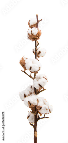 branch with cotton isolated © ksena32