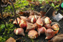 Preparation For Spring Season In Garden, Pink Tulips And Yellow Daffodils Bulbs