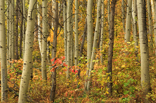 Poster Berkbosje Fall colors in an aspen glade, Utah, USA.