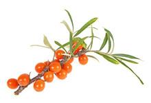 Sea Buckthorn Berries Branch W...