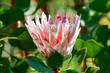 canvas print picture - Königs-Protea -  Protea cynaroides