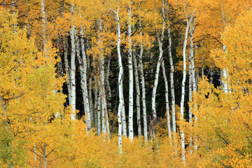 Fototapeta Brzoza Golden fall aspens, Utah, USA.