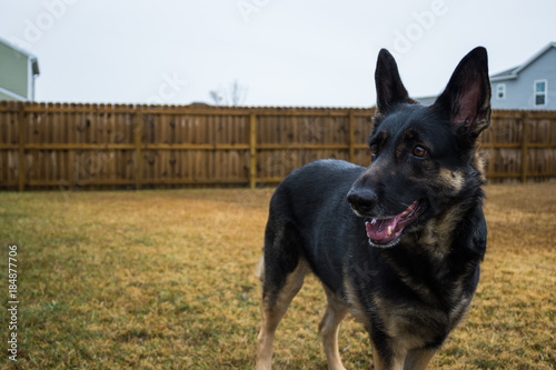 Fotografie, Obraz  Happy black german shepherd