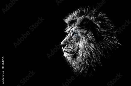 Poster de jardin Lion lion in black and white with blue eyes