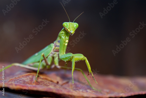 Fotografie, Obraz  A close up view of a praying mantis on a leaf in the early spring on the Hawaiia