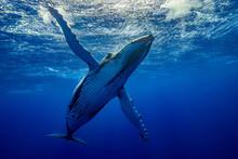Baleine Qui Téacceuil à Pect...