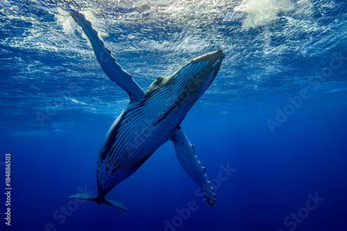 Fotografiet baleine qui téacceuil à pectorales ouvertes