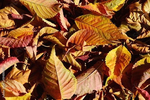 Cuadros en Lienzo Texture of fallen yellow and red autumn leaves from broadleaf tree sunbathing in
