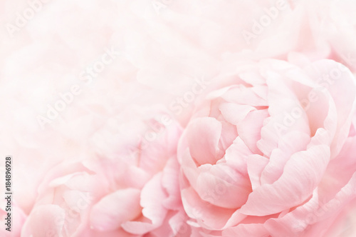 Summer blossoming delicate peony frame, blooming peonies flowers festive background, pastel and soft floral card, selective focus, toned