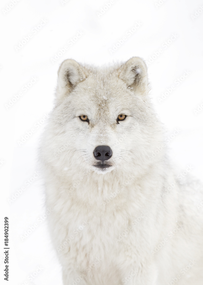 Arctic wolf (Canis lupus arctos) isolated on a white background standing in the winter snow in Canada