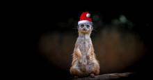 Erdmännchen Mit Weihnachtsmütze