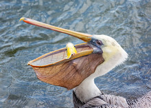 A Pelican Eating A Fish For Lu...