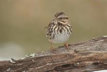 Song Sparrow (Melospiza Melodi...