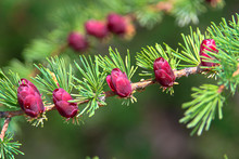 Closeup View Of Branches With Young Tamarack Cones