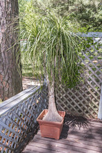 Potted Ponytail Palm Plant In The Sun.
