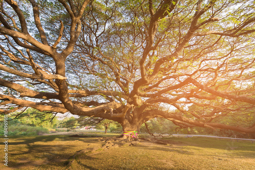 Fototapety, obrazy: Under giant tree with sun light effect, natural landscape background