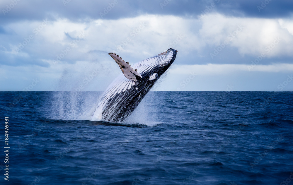 Fototapeta Humpback whale jumping out of the water in Australia. The whale is falling on its back and spraying water in the air.