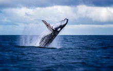 Humpback Whale Jumping Out Of ...