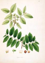 Plakat Botanical illustration