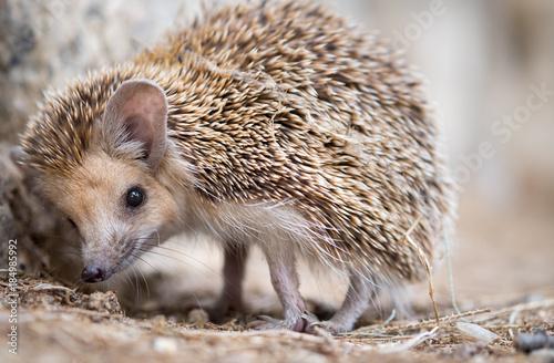 Fotografia cute macro photography of hedgehog walk in city park