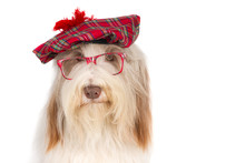 Bearded Collie With A Scottish...
