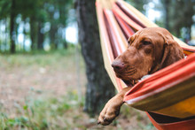 Dog Relaxing On A Hammock Rest...