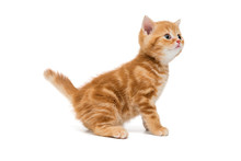 British Kitten Is Orange In Color