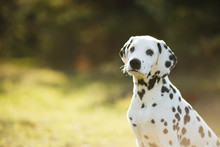 Cute Puppy Dalmatian For A Wal...
