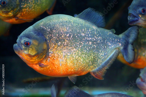 Vászonkép Red-bellied piranha (Pygocentrus nattereri ) in Brazil