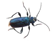 Big Beautiful Blue Bug  «violet  Saperda» Family Of Longhorn Beetle