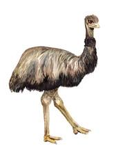 Watercolor Ostrich Emu