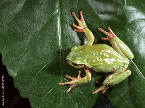 European tree frog (Hyla arborea) Wallpaper Mural