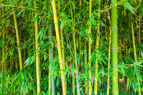 Green bamboo bushes