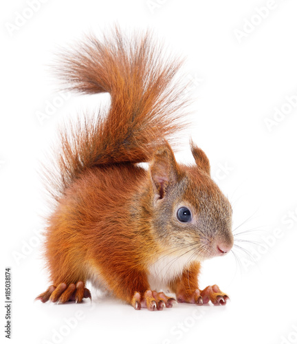 Deurstickers Eekhoorn Eurasian red squirrel.