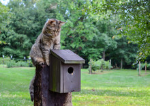 Kitty Cat Sitting On Top Of Birdhouse.  Domestic Cat Waiting, Watching And Hunting For Birds In Country Outdoor Setting.