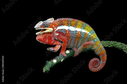 Cadres-photo bureau Cameleon Chameleon panther with black backround, beautiful of chameleon