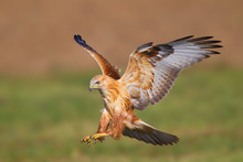 Long-legged Buzzard (Buteo Rufinus) In Natural Habitat