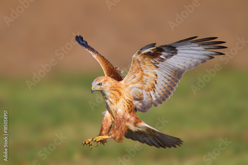 Long-legged buzzard (Buteo rufinus) in natural habitat Canvas Print